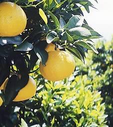 ニューサマーオレンジの木