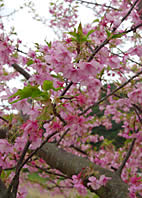濃いピンクがとてもきれい!