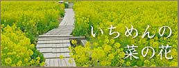 いちめんの菜の花
